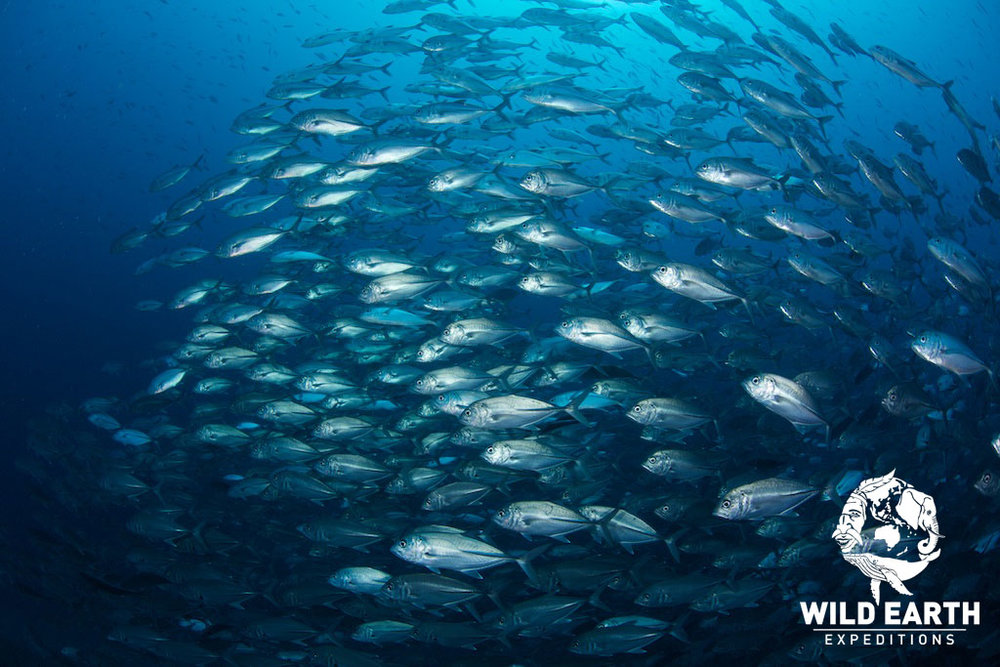 Jackfish 'Storm' - Philippines & Palau - Wild Earth Expeditions
