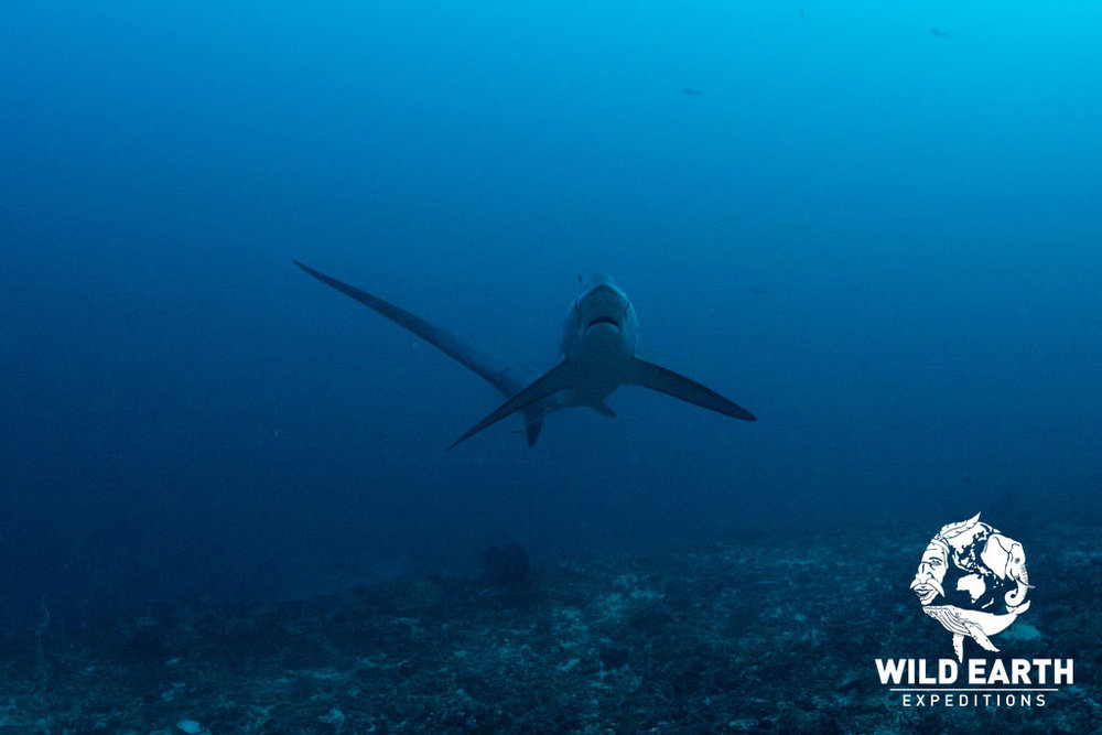 Thresher Shark, Malapascua - Philippines - Wild Earth Expeditions