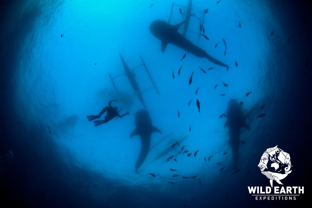 Whale shark encounters - Philippines - Wild Earth Expeditions