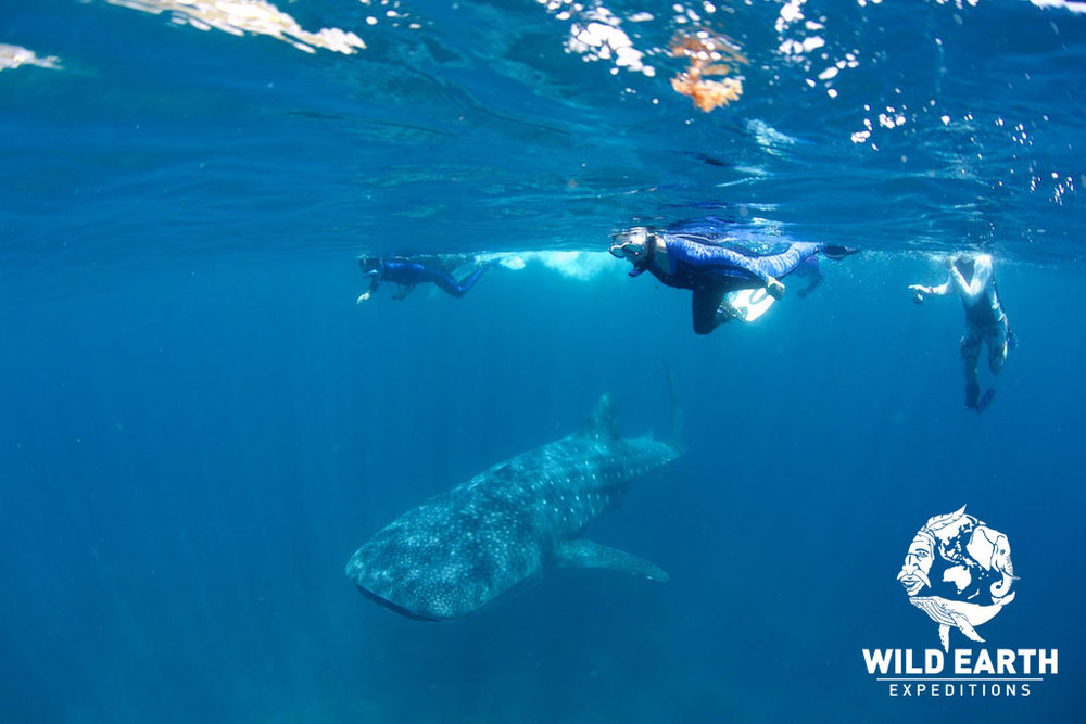 Whales sharks, Oslob - Philippines - Wild Earth Expeditions