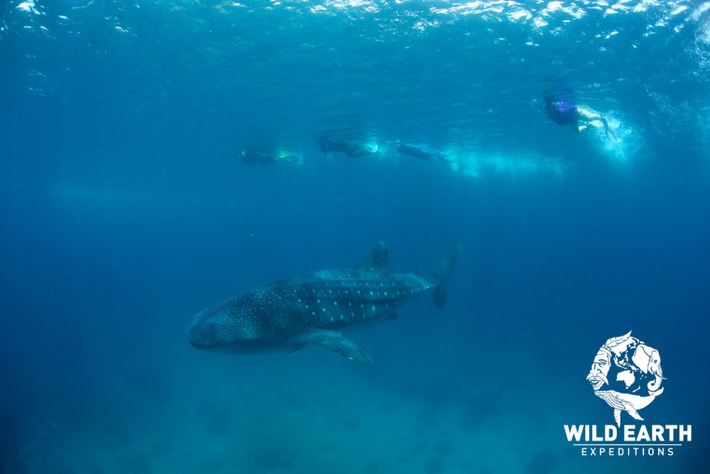 Whale Sharks, Oslob - Philippines - Wild Earth Expeditions