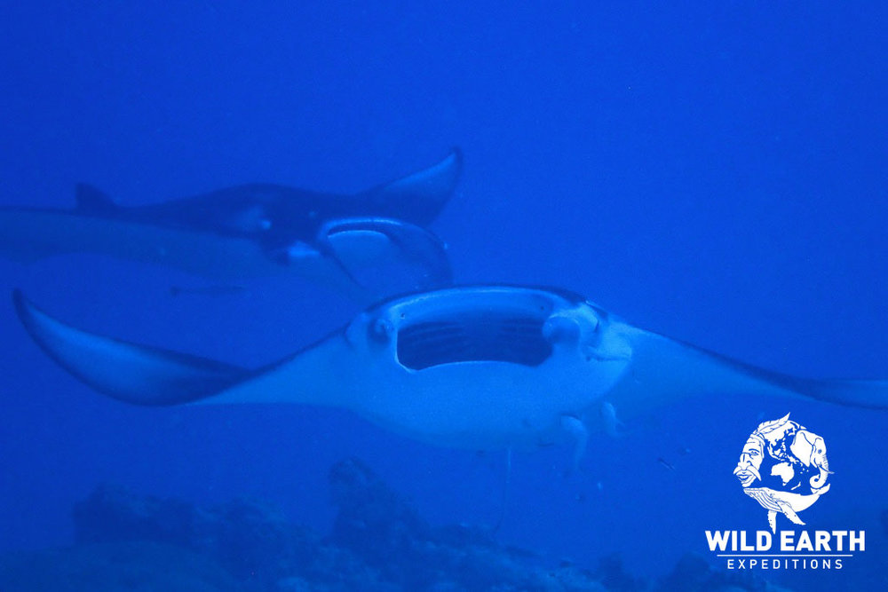 Manta Rays, German Channel - Palau - Wild Earth Expeditions