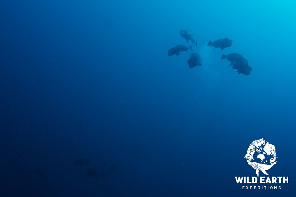 Bumphead Parrotfish Spawning - Palau - Wild Earth Expeditions