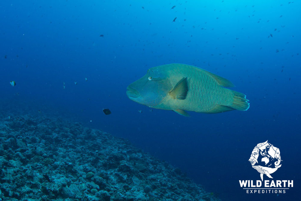 A friendly Napoleon Wrasse, Blue Corner - Palau - Wild Earth Expeditions