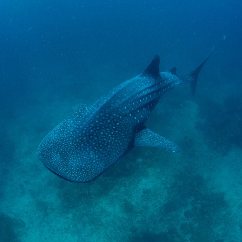 PHL_Southern-Leyte-UW-Sogod-Bay-Whale-Sharks-©18-Natalia-Baechtold-041.jpg