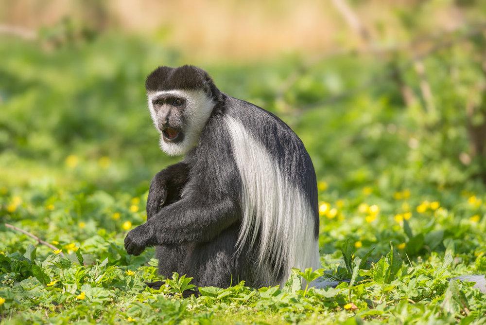 ETH_Ethiopa-Colombus-Monkey-©-AdobeStock_86149494.jpg