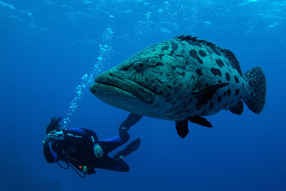 Potato Cod, Great Barrier Reef - Australia - Wild Earth Expeditions