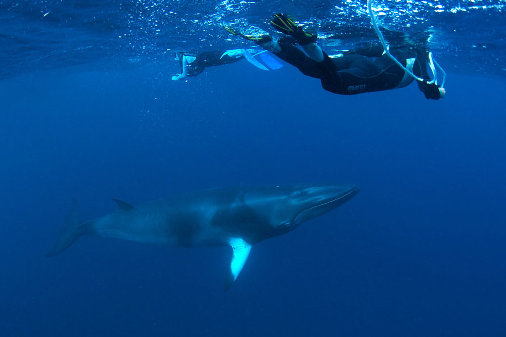 'Eye to eye' with Minke Whales - Australia - Wild Earth Expeditions