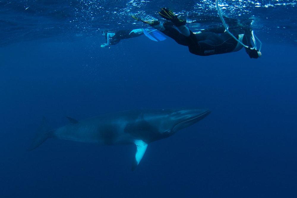 Dwarf Minke Whales - Australia - Wild Earth Expeditions