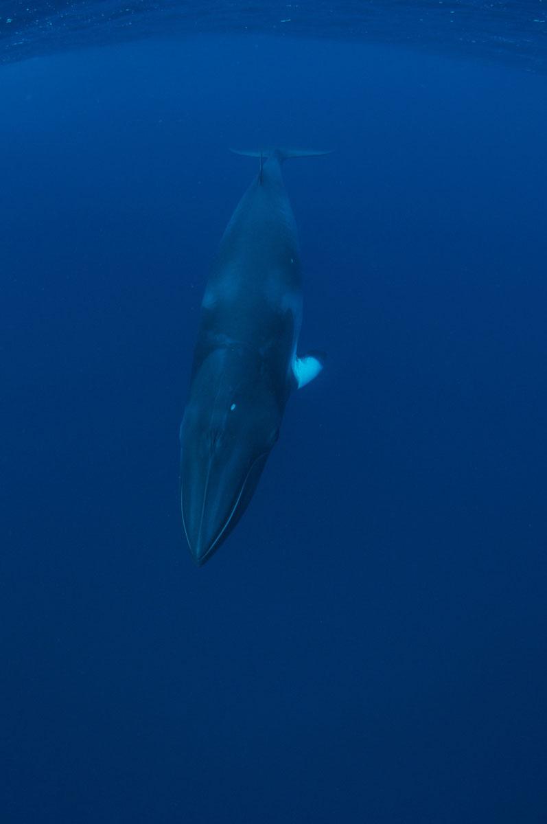 Dwarf Minke Whale - Australia - Wild Earth Expeditions