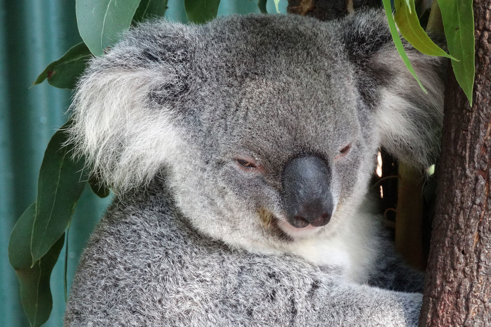AUS_Port-Douglas-Wildlife-Habitat-Koala-©-Manfi-Bauen-8671.jpg