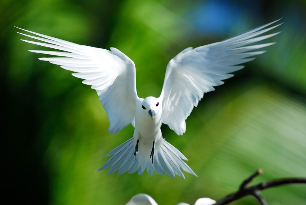 SYC_Seychelles-Fairy-Tern-©-Raymond-Sahuquet.jpg