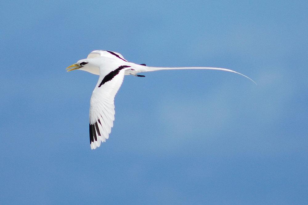 SYC_Seychelles-Tropic-Bird-©-Raymond-Sahuquet.jpg