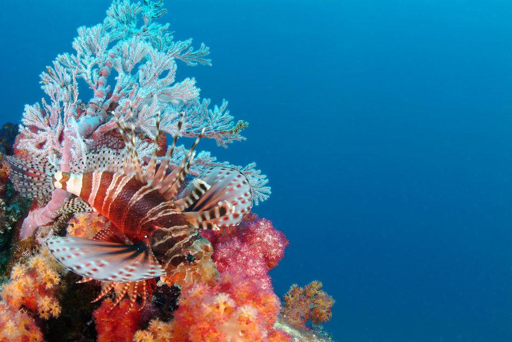SYC_Seychelles-UW-Lion-Fish-©-Tony-Baskeyfield.jpg