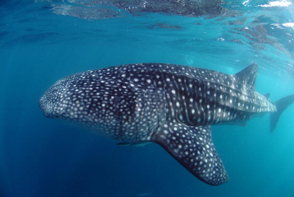 SYC_Snorkel-UW-Whale-Shark-©-Tony-Baskeyfield.jpg