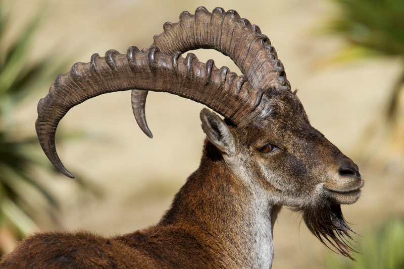 ETH_Simien-Mountains-Walia-Ibex-©-Dinkesh-Ethiopia-Tours-01_800.jpg