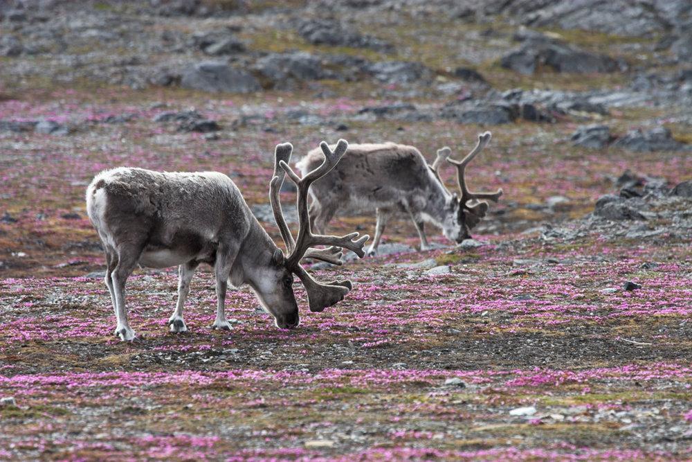 NOR_Svalbard-Reindeers-©-AdobeStock_15739094.jpg