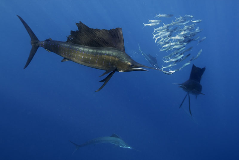 MEX_Mexico-Atlantic-Sailfish-©-AdobeStock 177238127.jpg