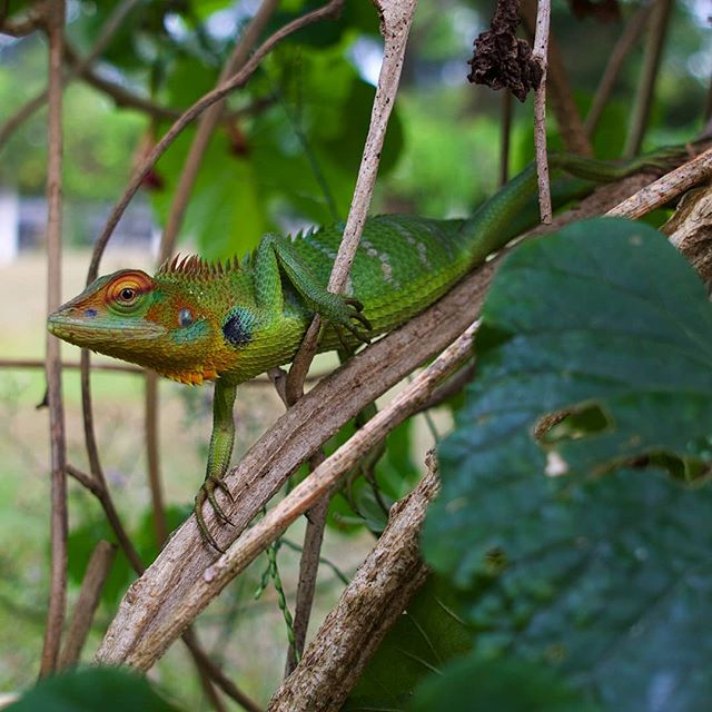 The Green garden Lizard is one of the most colourful reptiles found in Sri Lanka and belongs to the Agamas family. Growing up to 65cm long they can be distinguished by their uniform sized dorsal  scales and they do not have a fold of skin extending between the check and the shoulder.