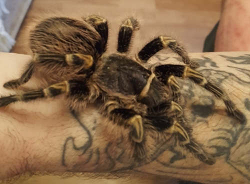 Golden Knee Tarantula ( H ) ( S )