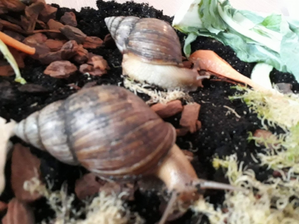 Giant African Land Snail ( H )