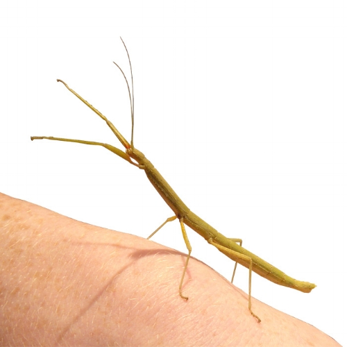Indian Stick Insect ( H )