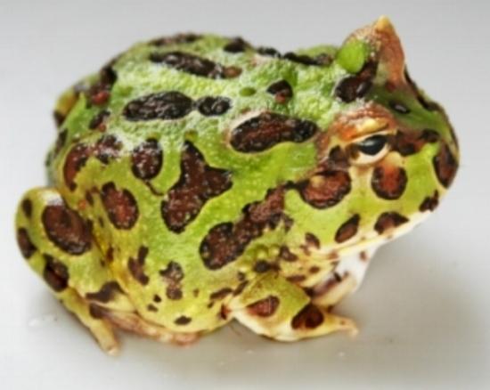 Horned Frog -  Pacman  - (  V  )