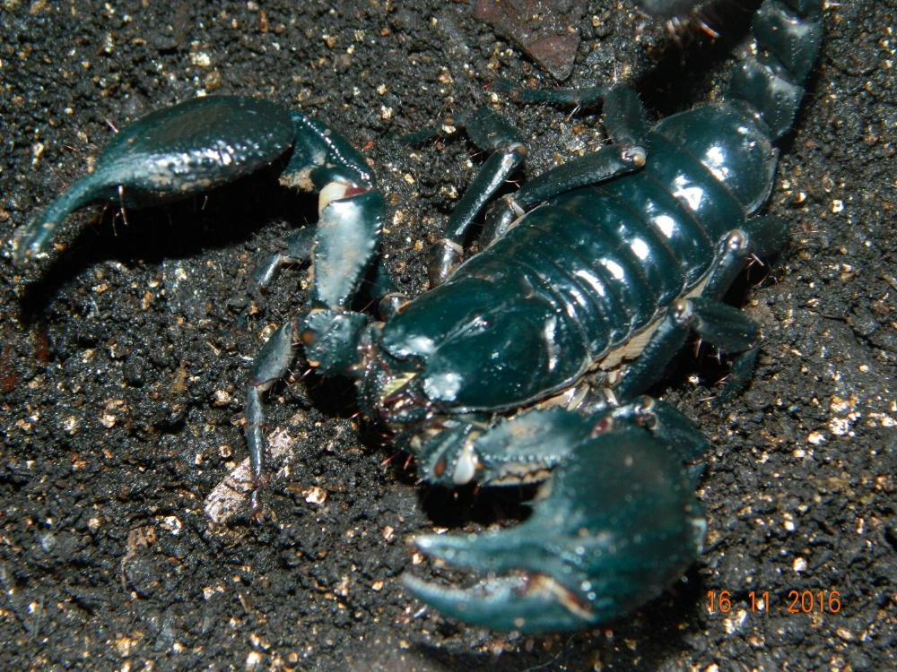 Asian forest Scorpion ( V )