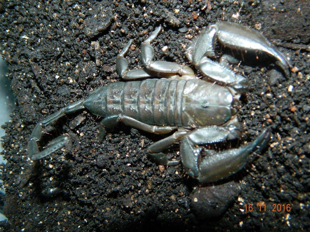 Flat rock Scorpion ( V )