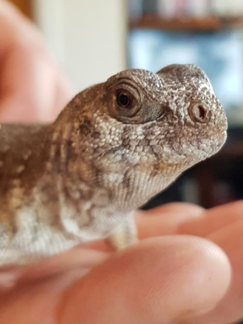 Ian - Desert Iguana