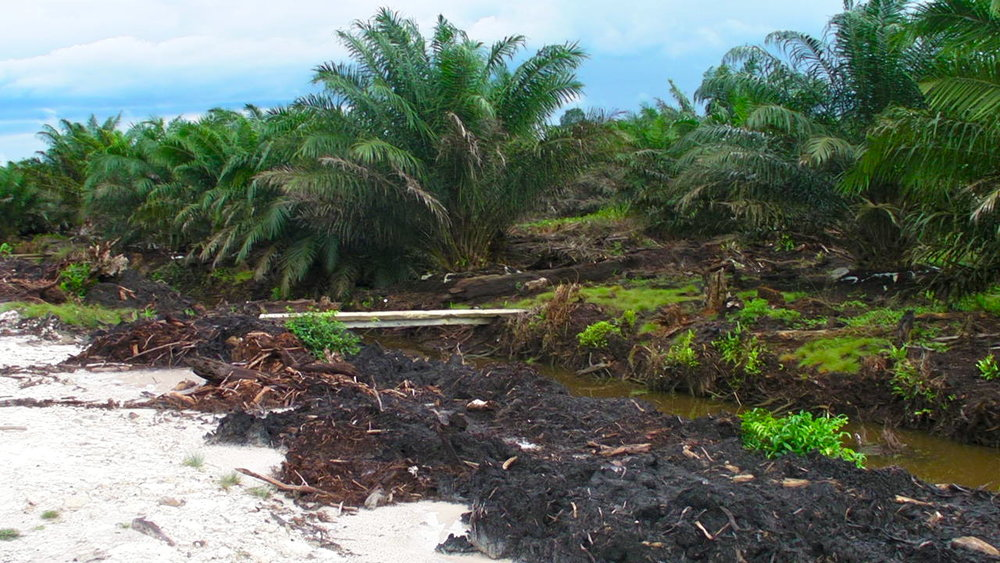 Deforestation for palm production in the Tanjung Puting National Park, Indonesia, a UNESCO Biosphere Reserve. Photo: Rainforest Action Network
