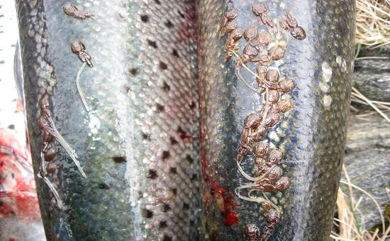 Parasitic lice in    farmed salmon