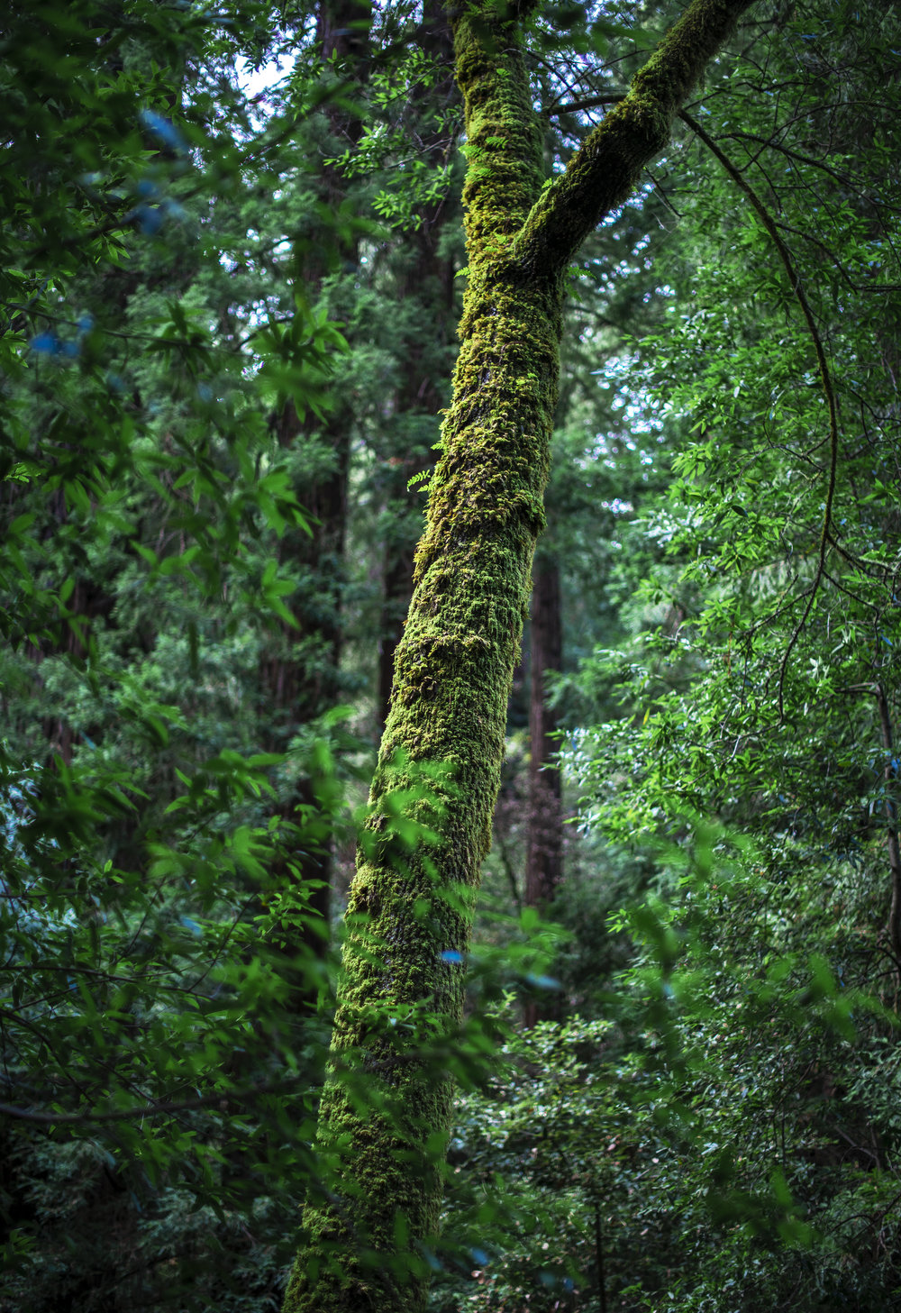 Something about the dense green and yellows from the Redwood Forest that will never get old. This place is one of my favorites and I cannot wait to go back again.