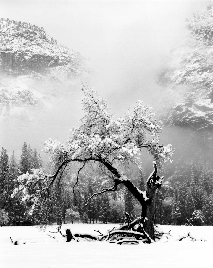 Oak Fresh Snow, Yosemite National Park, CA