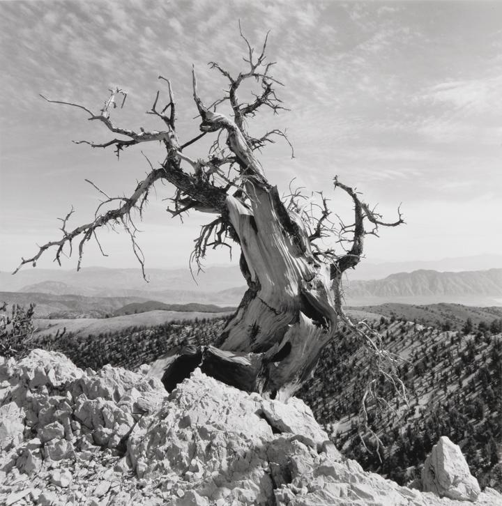 Bristlecone Pine, CA, 1973