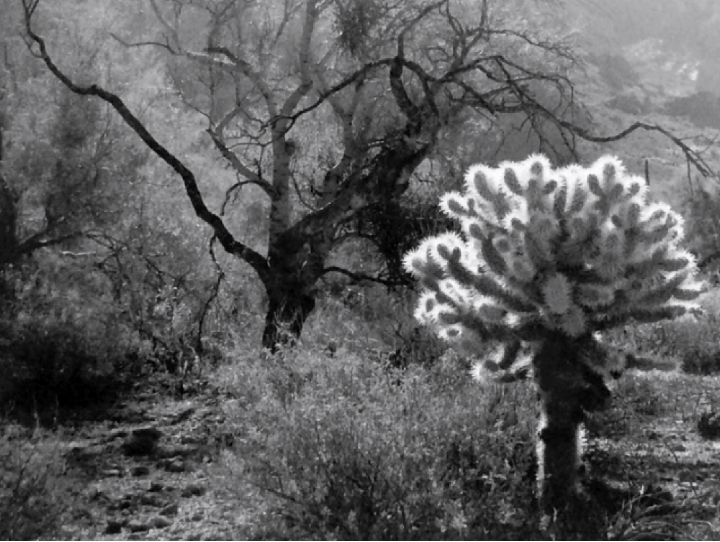 Backlit Cholla, 2017