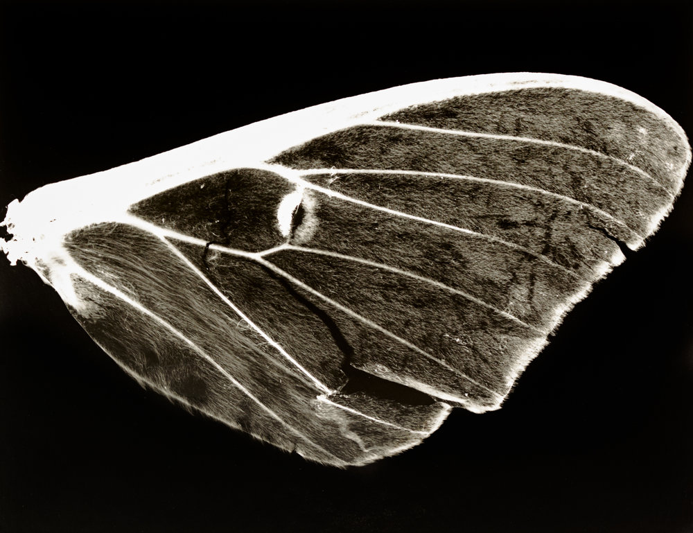 "Lot 40 Megan C. Ledbetter, Chattanooga, TN    Moth Wing , Silver gelatin photogram, 2013, 14"" x 11"" Signed, verso Donated by the artist Unique print $500 - 800   megancledbetter.com"