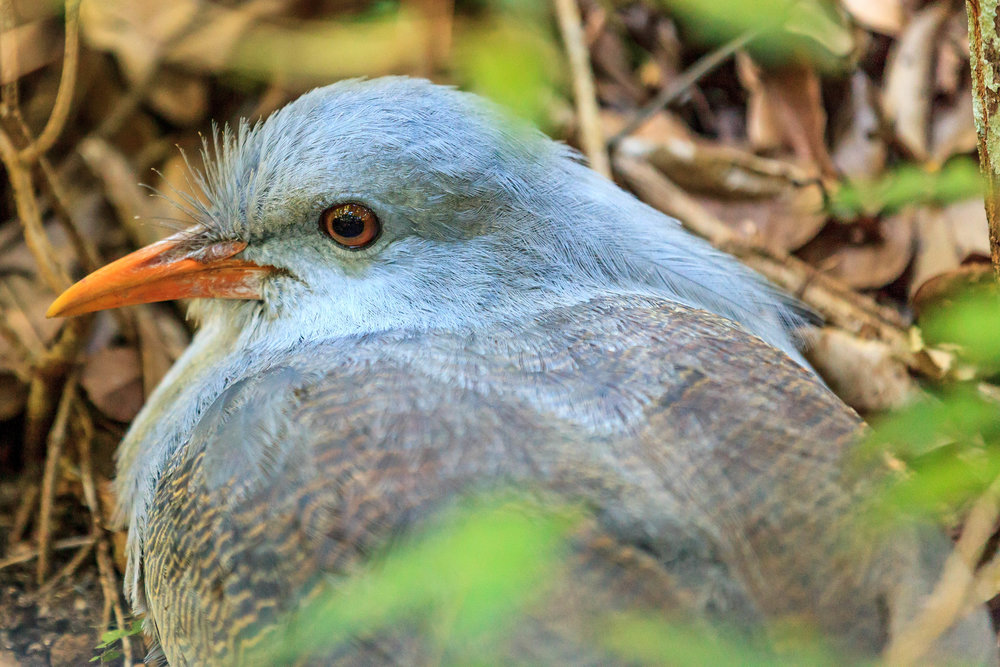 The Kagu is a truly unique bird found only in New Caledonia. Though endangered it is recovering due to a prolonged conservation effort. (Photo courtesy of Darren Puttock)