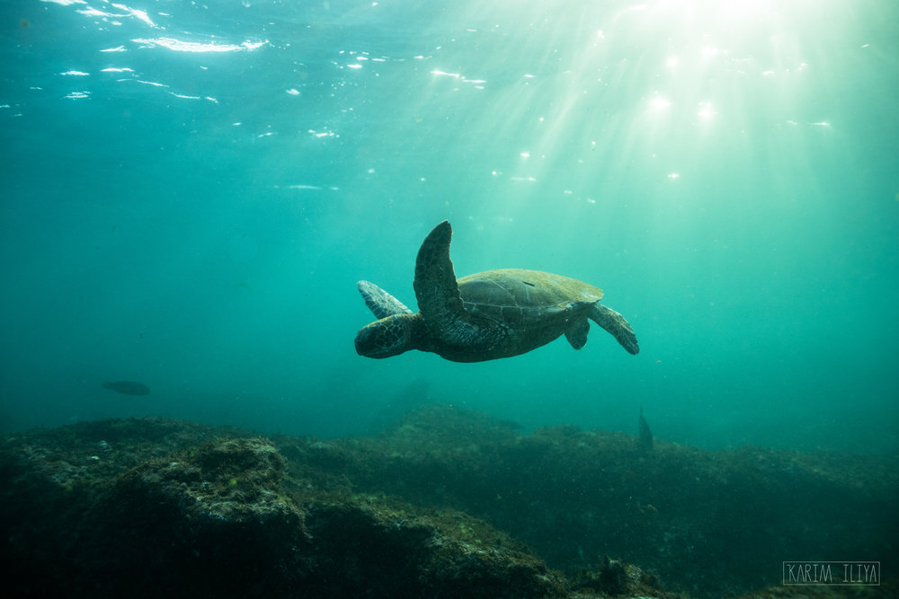 A Hawaiian Green sea turtle cruising through the shallows off Maui, Hawaii.
