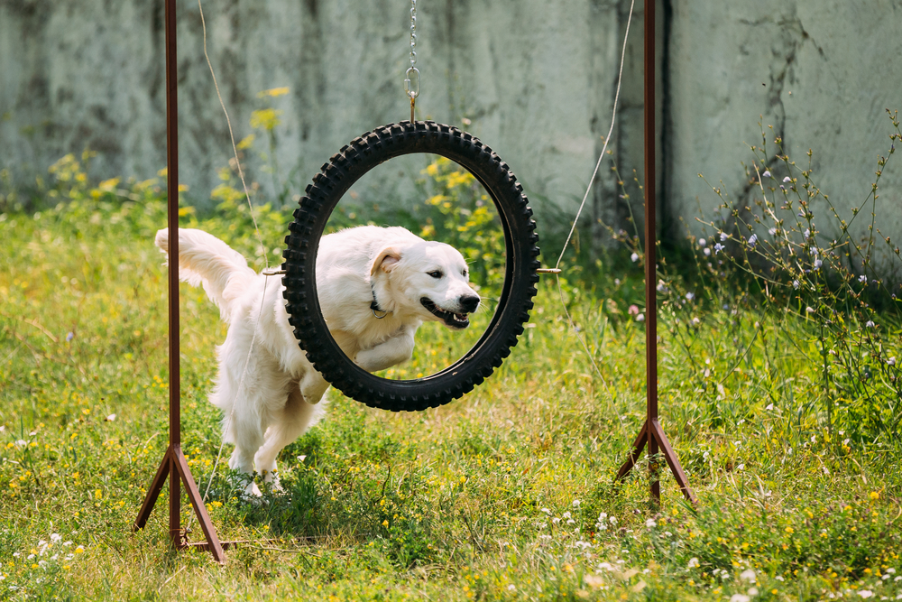 shutterstock_463954487 dog jumping through hoop.jpg