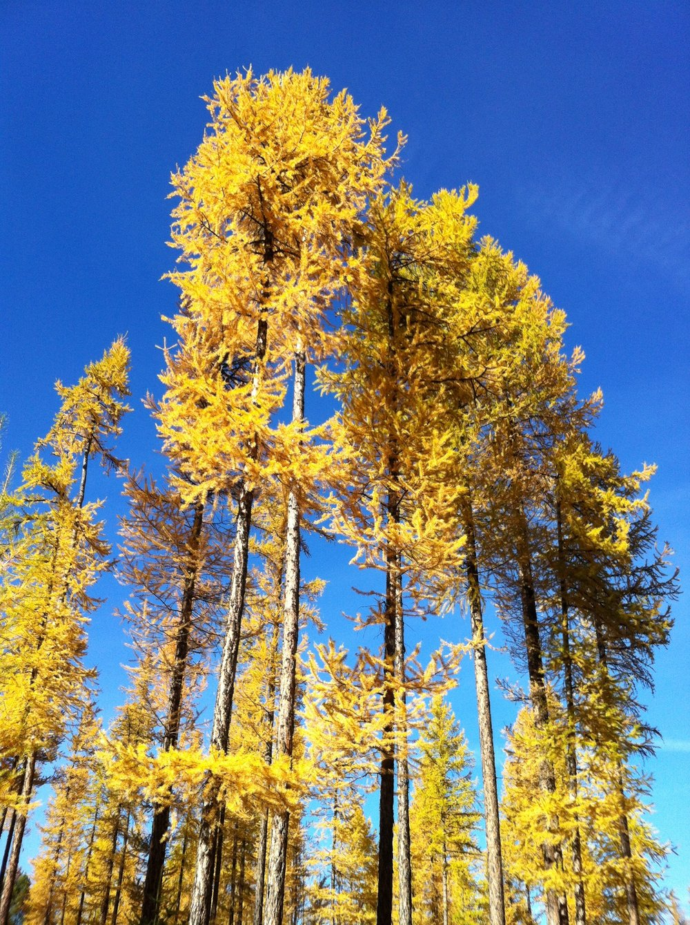 south-star-larch-2.JPG