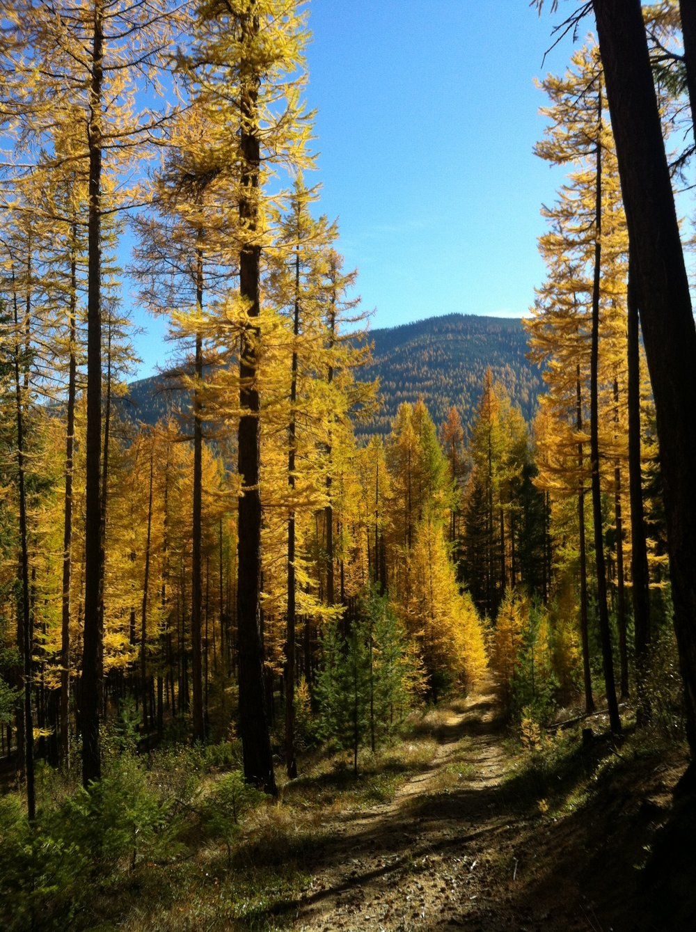 south-star-larch-1.JPG