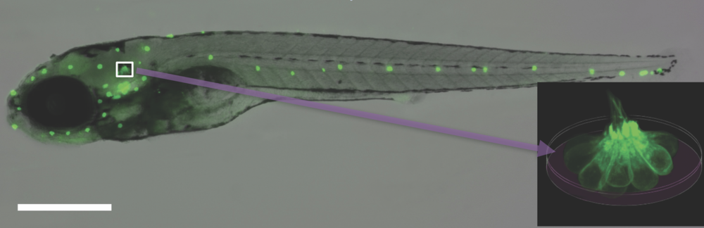 Mature lateral line hair cells from larval zebrafish (shown with the neuromast sensory organ enlarged) serve as a platform for studying drugs and genes that modulate hair cell susceptibility to ototoxic agents.