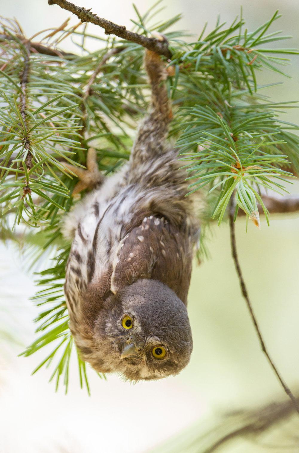 20100618_Bannick_Northern_Pygmy-Owl_1175.jpg