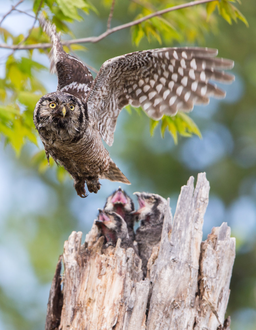 The four featured owl habitats--forest, grassland and steppe, boreal, and Arctic--each reveal wildly rich stories of their own.