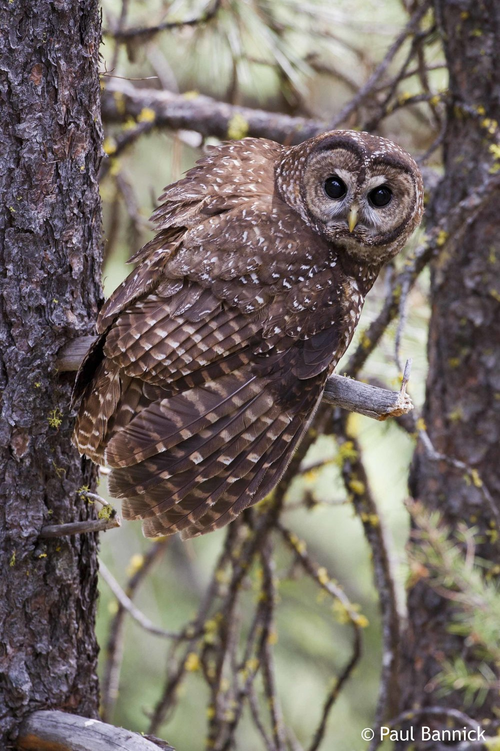 20080626_Bannick_Northern_Spotted_Owl_3708_062608.jpg
