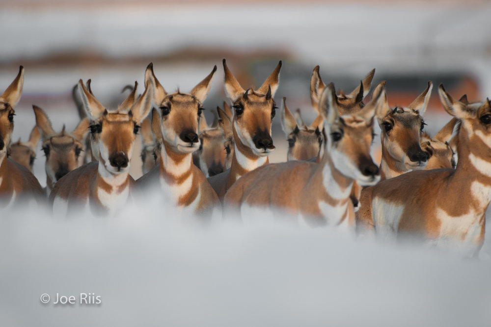 """As snows begin to fall each autumn, pronghorn gather and begin their trek back to their Upper Green River valley winter range. They must reach and cross the divide between the Green and Gros Ventre rivers before snow blocks their way.  Their migration route,now known as the """"Path of the Pronghorn,""""has been protected as a wildlife corridor."""