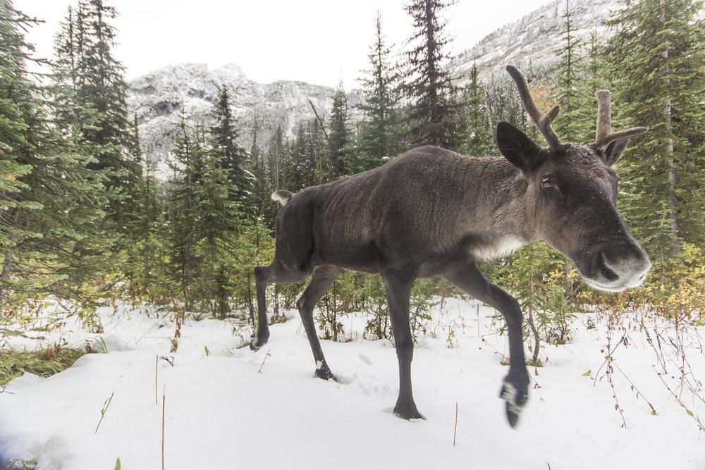 Caribou Rainforest - David Moskowitz