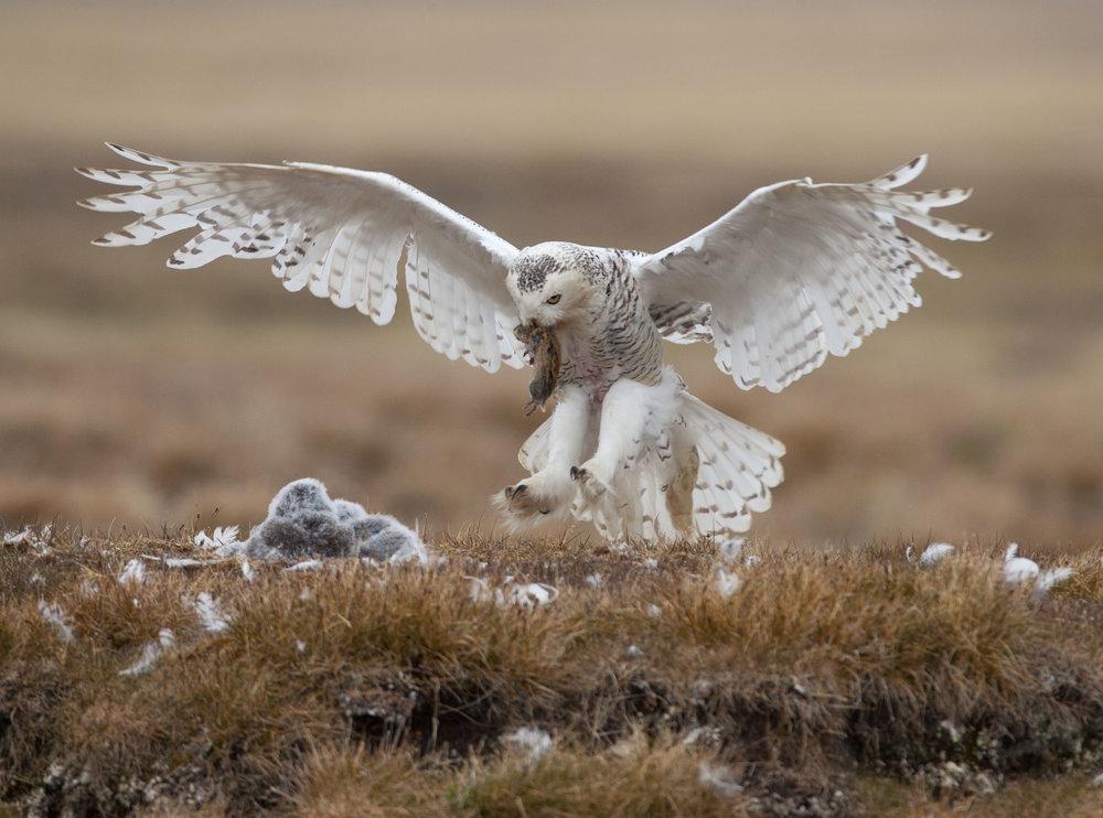 Owl - Paul Bannick