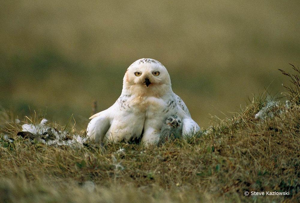 Snowy Owl_Michio Hoshino_WEB.jpg